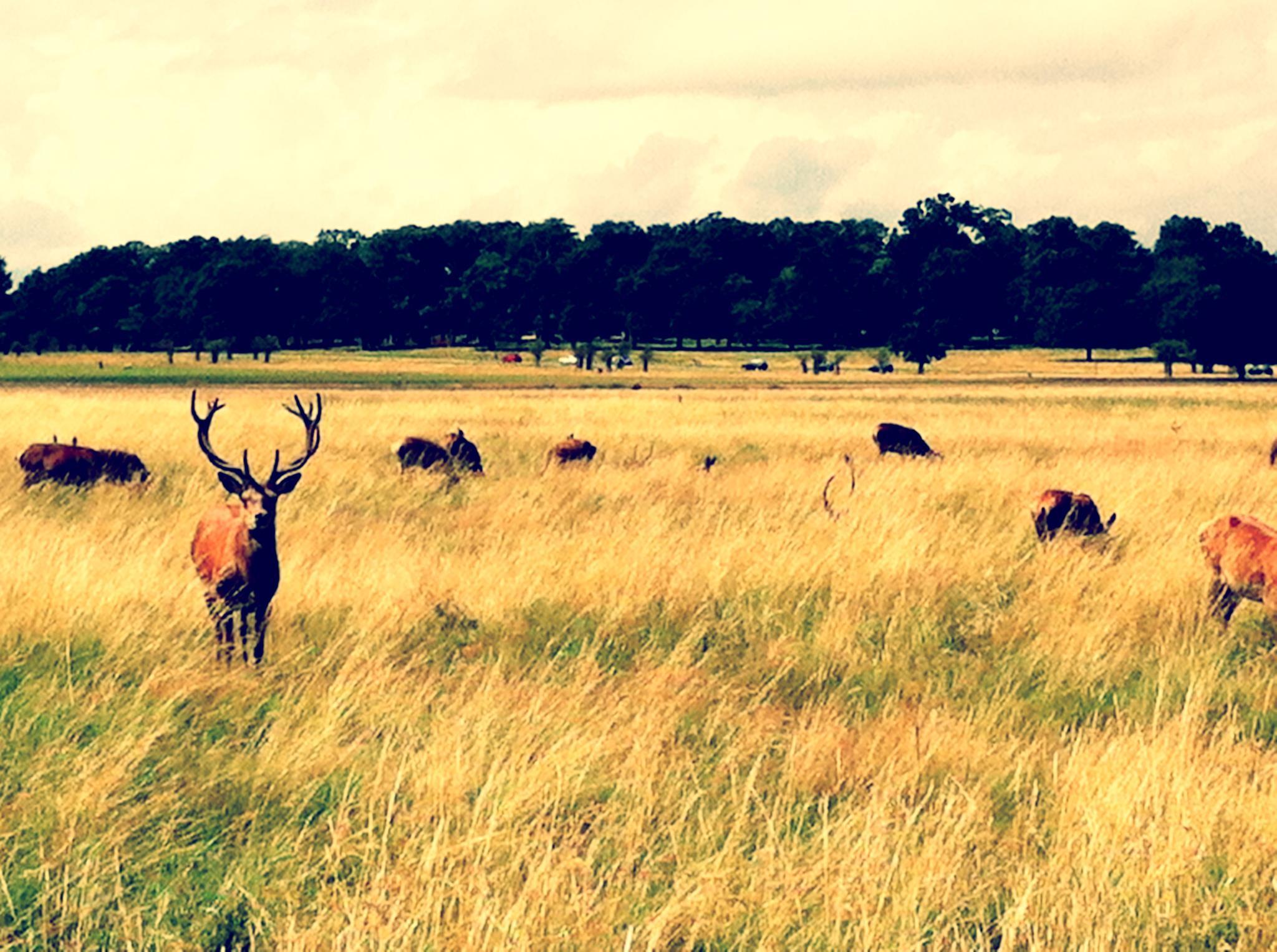 Amazing Deer Shot: Richmond park, Surrey, England, London