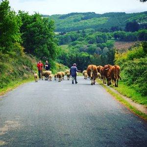 Cows in the road Camino de Santiago - Driftwood Journals Travel Blog