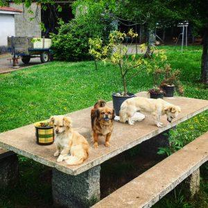 Puppies Arzúa to Pedrouzo Camino de Santiago