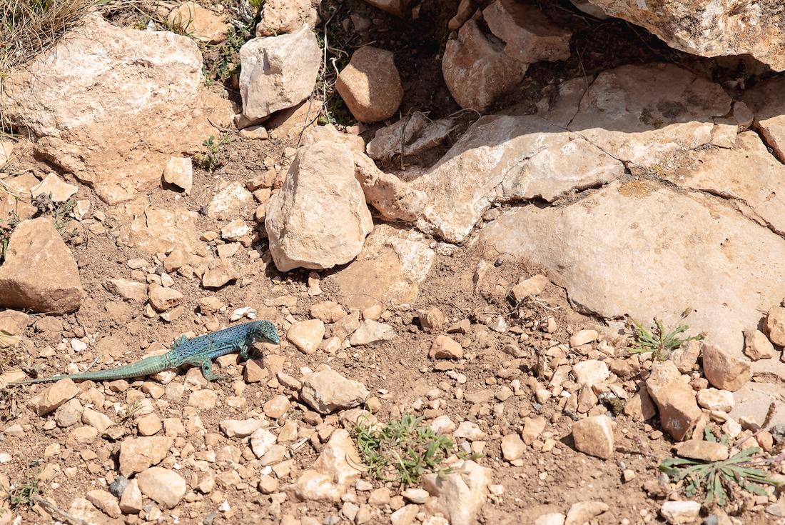 Lizards on Formentera