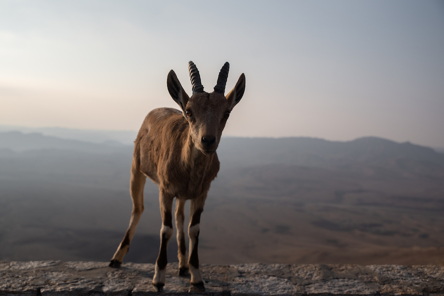 Negev Desert Wildlife, Israel Travel Photography by Ben Holbrook from DriftwoodJournals.com-3687