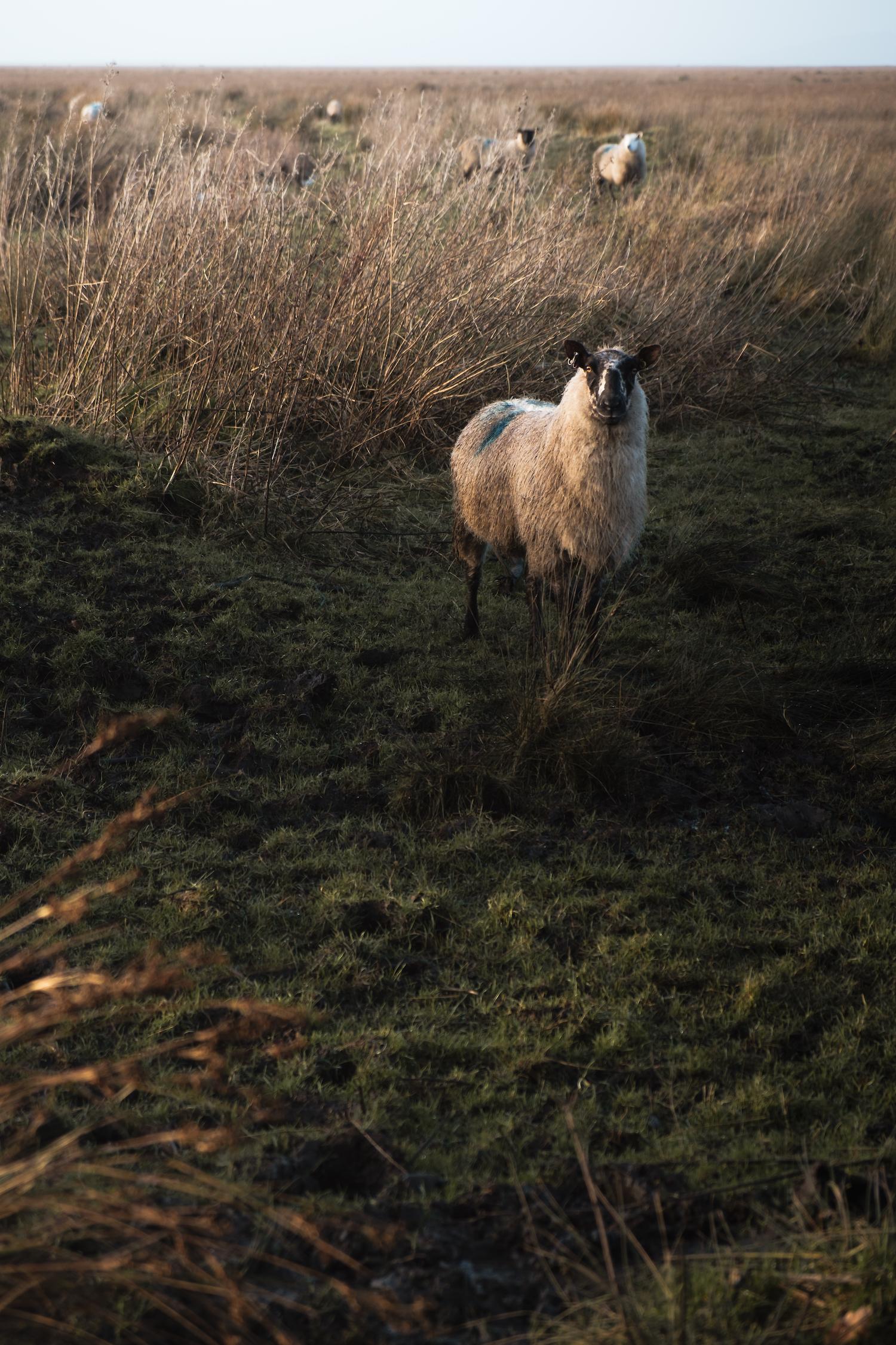Wild sheep on Llanrhidian Marsh (Gower Peninsula, South Wales).