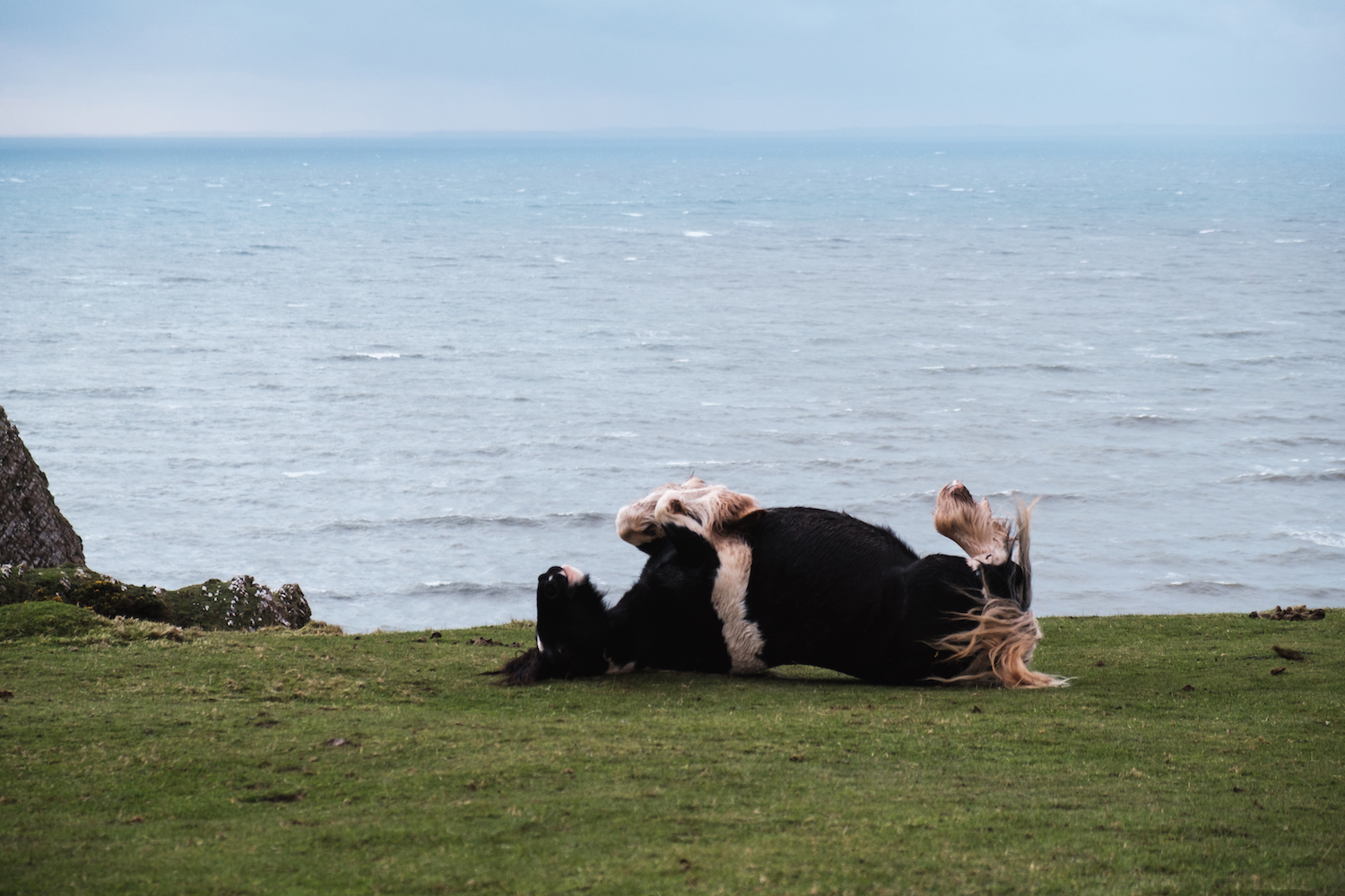 Wild horses play in Rhossili Bay (Gower Peninsula, South Wales).